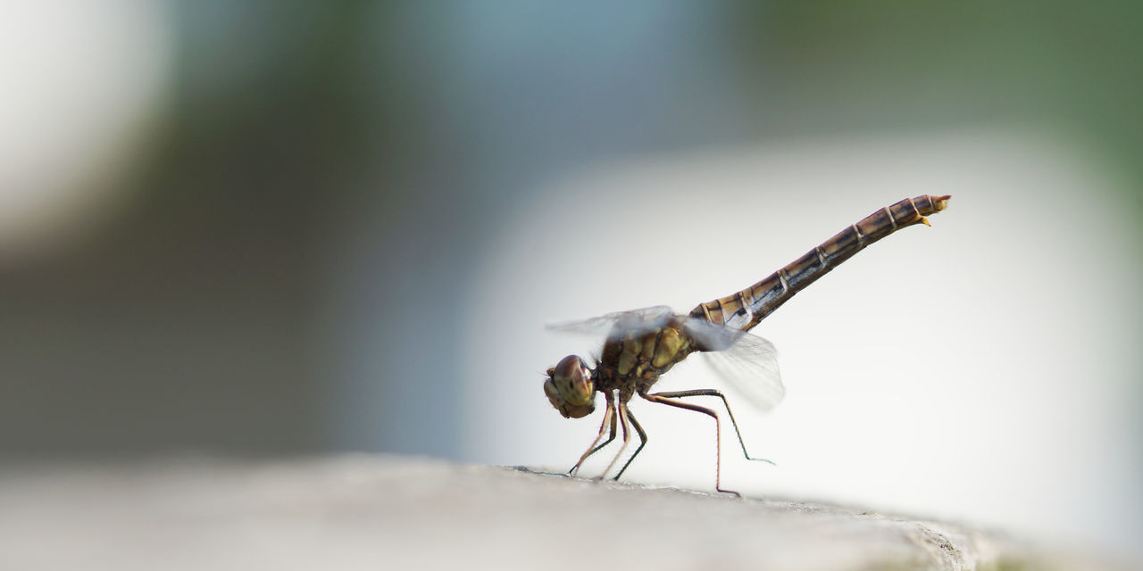 Dragonfly ballet Animal Animal Themes Animal Wildlife Animals In The Wild Ballet Bremen Close-up Dancing Day Dragonfly Fence Focus On Foreground Fragile Fragility Full Length Insect Nature No People One Animal Outdoors Perching Posing Predator Silhouette Standing