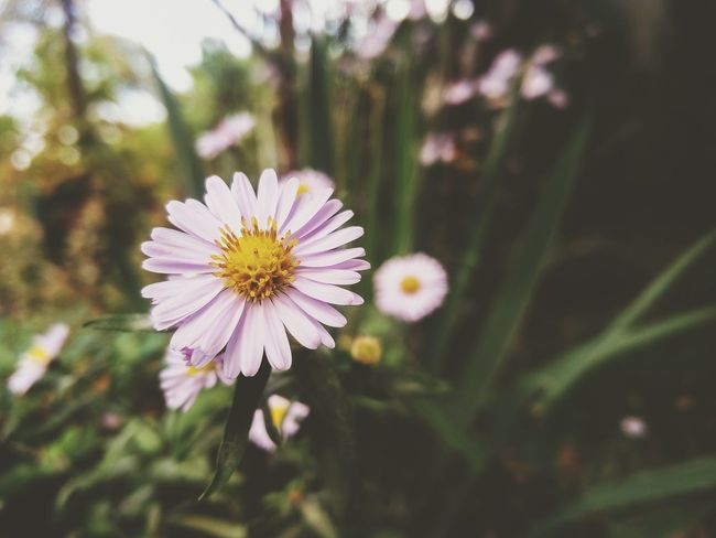 Flower Freshness Fragility Flower Head Close-up Beauty In Nature Focus On Foreground Single Flower Nature Daisy In Bloom Blossom Day Taking Photos Life Mobilephotography Mobilephoto Mobile_photographer Oneplus2 Oneplus2photography