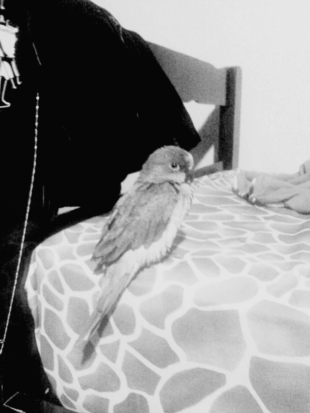 My Bird Hi!