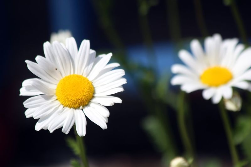 Flower Power @ Germany Beauty In Nature Blooming Close-up Daisy Day Flower Flower Head Flower Power Flower Power🌼 Fragility Freshness Growth Nature No People Outdoors Petal Plant White Color Yellow