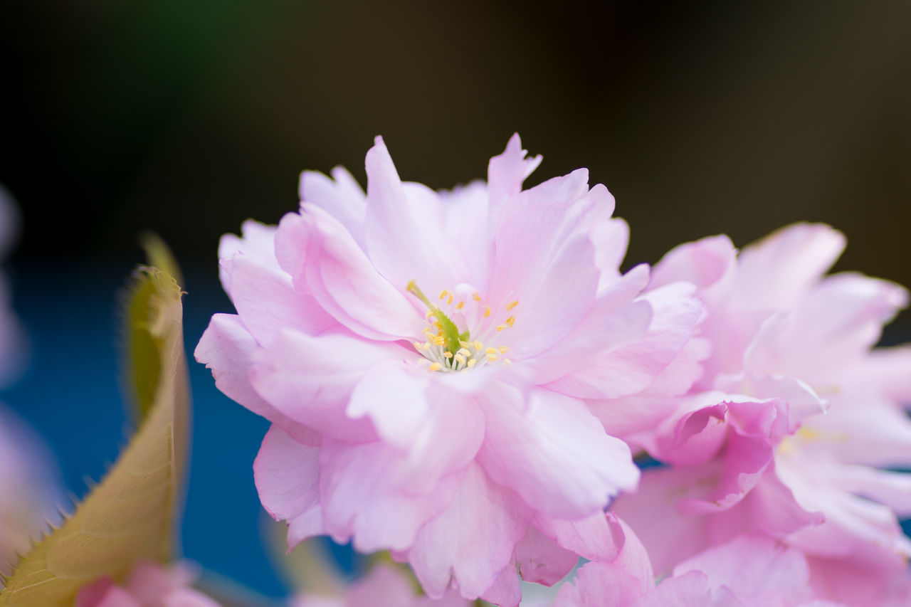 flower, petal, nature, beauty in nature, pink color, no people, fragility, close-up, flower head, plant, outdoors, day, growth, freshness