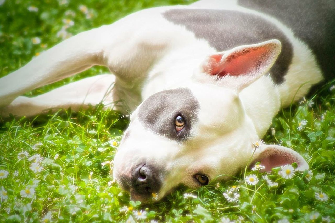Our dog in the grass at the vacation house. Pets Pitbull Staffordshire Bull Terrier Love EyeEm Selects