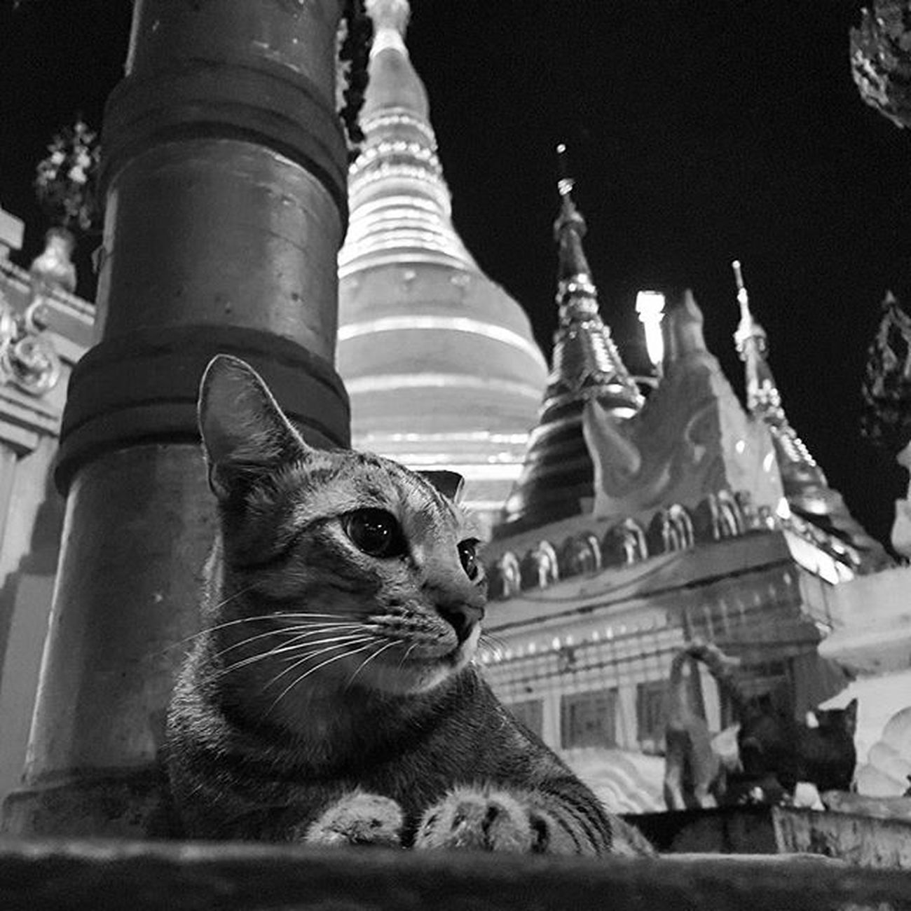 The cat & the pagoda (Burmese New Year) Cat Shwedagon Pagoda Shwedagonpagoda Stupa Kitten Straycat Yangon Rangoon Myanmar Burma Igersmyanmar Instagood Instagram AOV Artofvisuals Choose2create Travelgood Mobilephotography Mobilephoto Blackandwhite Blacknwhite Vacationinstyle Bnw Alphahype