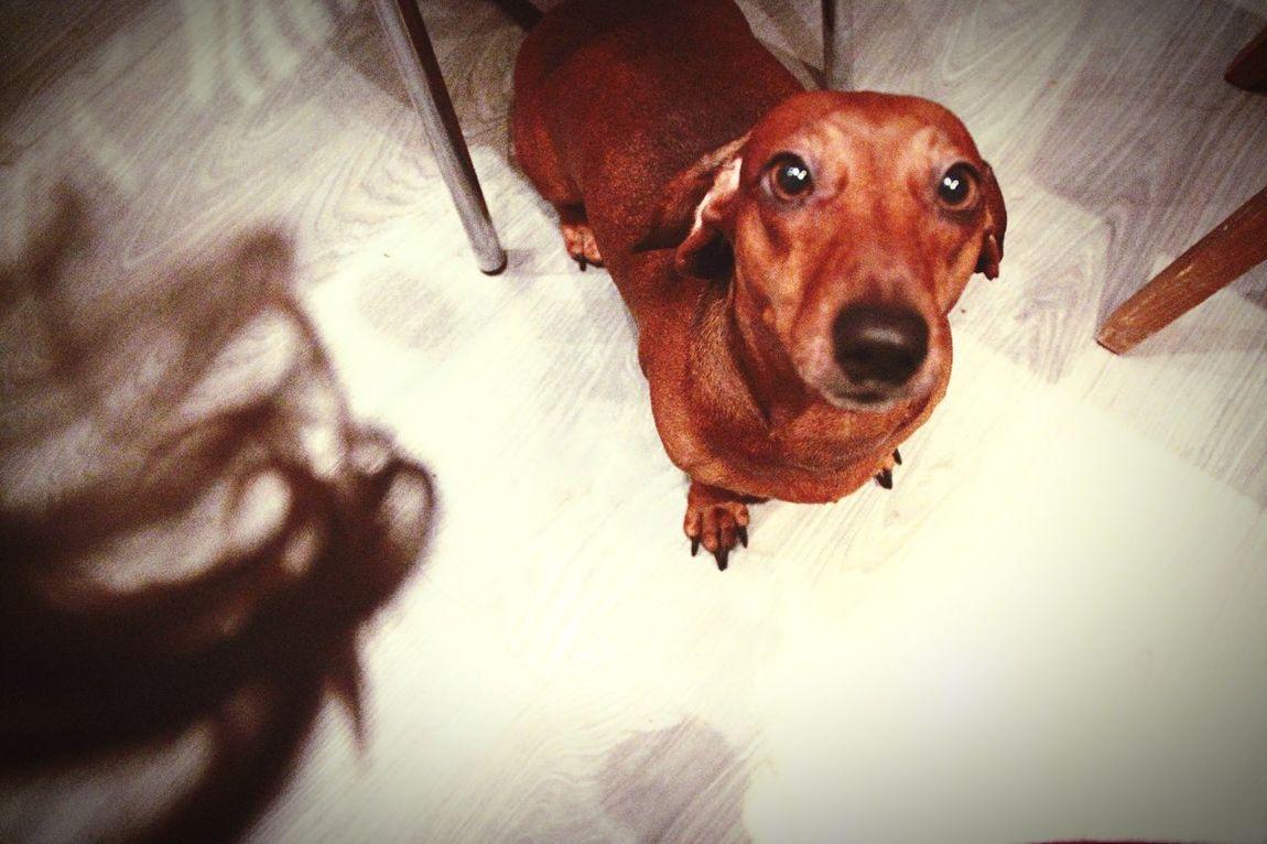 Dog DogLove Topa Dachshund Dachshunds Good Times Time Life Follow4follow Like4like