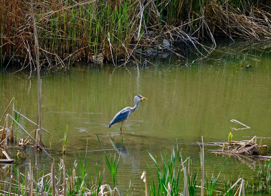 Animal Themes Animal Wildlife Beauty In Nature Bird Grass Gray Heron Heron Lake No People One Animal Outdoors Water