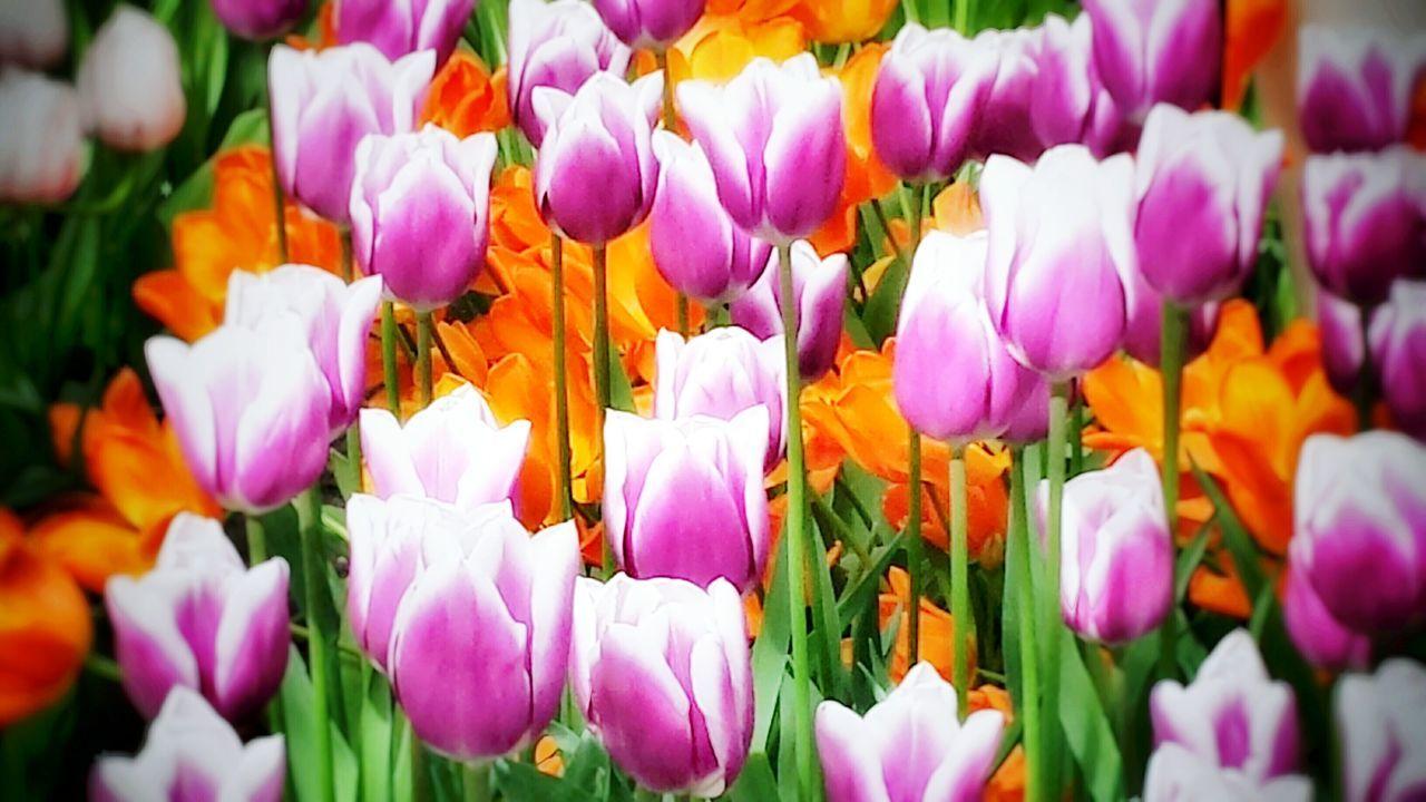 Yeah Springtime! Tulips have a lot Creative Power! SMG DESIGN Popular Photos Enjoying Life Tadaa Community Nature_collection FlowersEyeEm Nature Lover