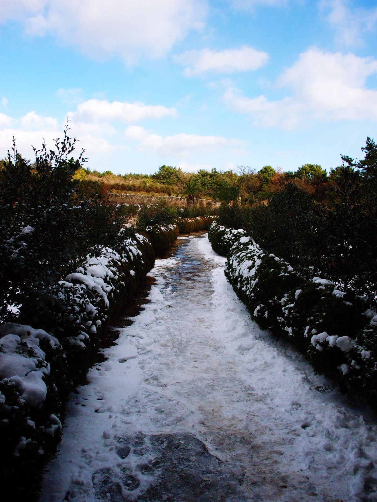 JEJU ISLAND  Camellia Hill Nature Landscape Wintertime Snow ❄ Taking Photos Olympus E-P3 14-54mm II Traveling