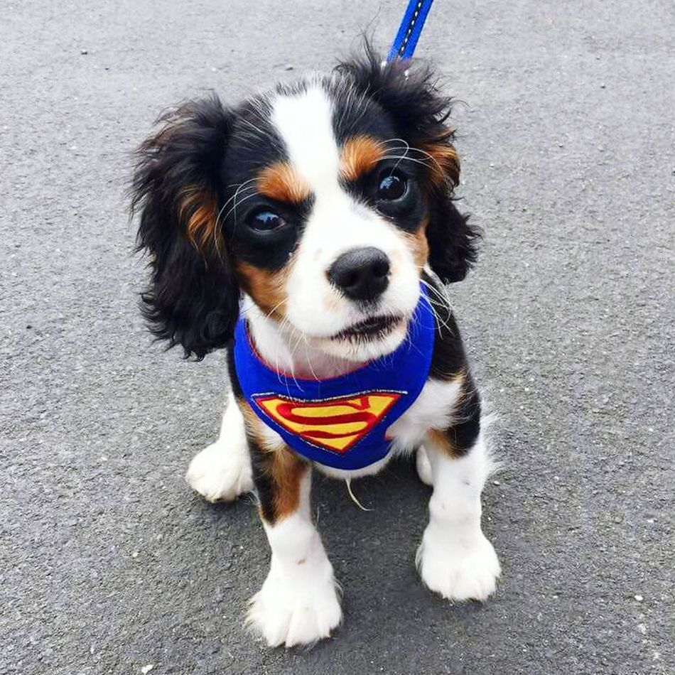 Looking At Camera Portrait Dog One Animal High Angle View Domestic Animals Animal Themes Pets Mammal Outdoors Pet Clothing No People Superman Superdog Puppy Puppy Love Puppy Eyes Walkies Cavalier King Charles Spaniel King Charles Spaniel King Charles Cavalier Cavalier  Spaniel Baby Dog
