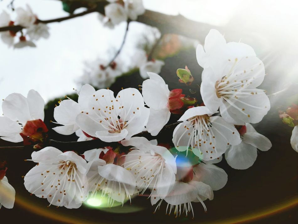 Flower Fragility Nature Beauty In Nature Blossom Freshness Flower Head Close-up Petal Plant Growth No People Springtime Day Outdoors Tree Branch Beauty In Nature Growth Botany Nature White Color Apricot Flowers Apricot Blossoms Sunlight Through Trees