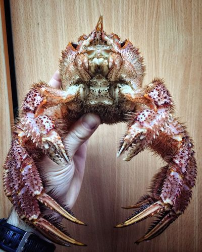 Close-up Human Hand Human Body Part Crab SEAFOOD🐡 Horsehair Crab Far East