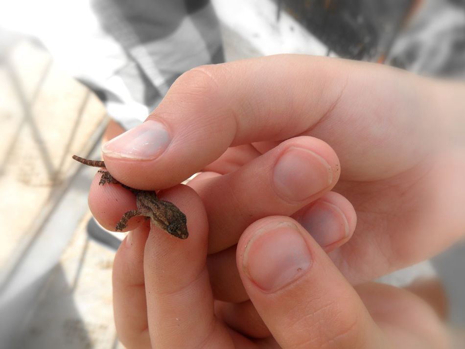 Baby gecko 💕 so sweet 💕Human Body Part Human Hand Animal Wildlife Gecko Children Hands Sweet Moment India One Animal Baby Gecko Respect Simple Moment Baby Animal Real People Beauty In Nature Nature Beauty Love Emotion The Moment Touch