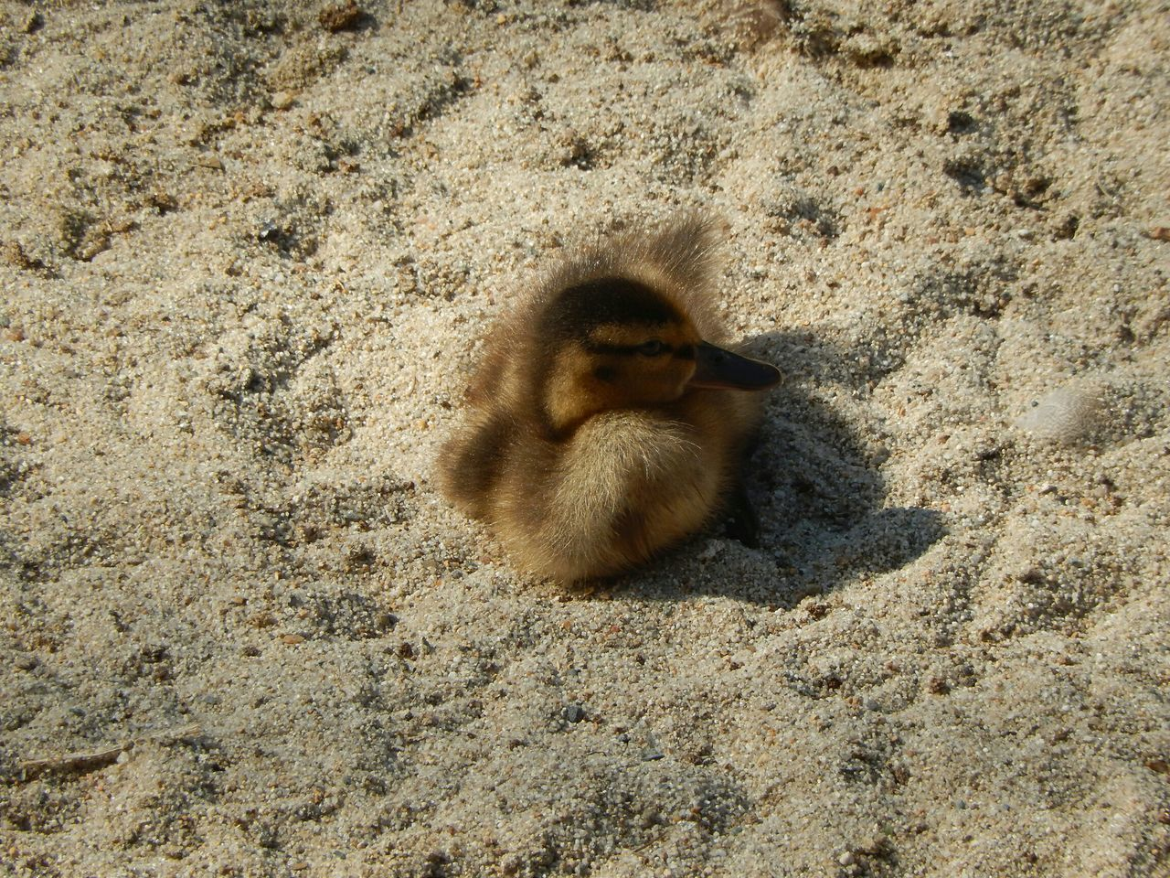 High Angle View Of Duckling On Sandy Beach