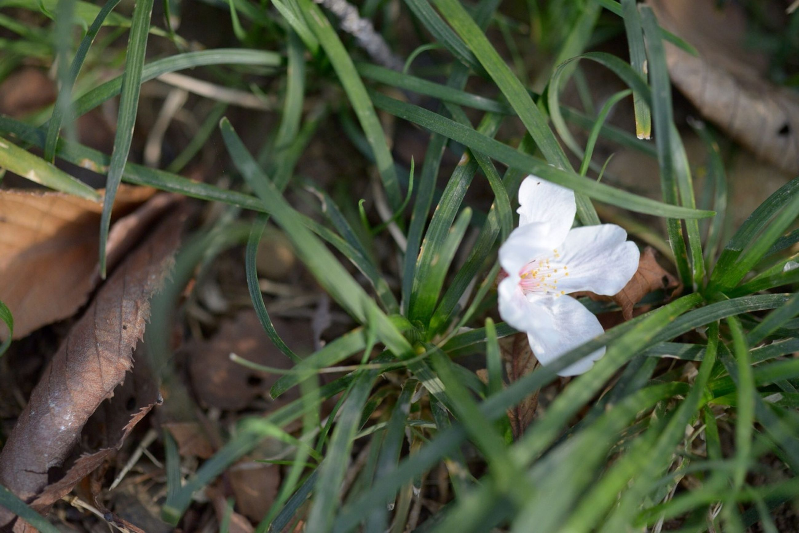 flower, growth, fragility, freshness, plant, petal, white color, beauty in nature, nature, flower head, close-up, blooming, leaf, green color, high angle view, field, focus on foreground, selective focus, grass, in bloom