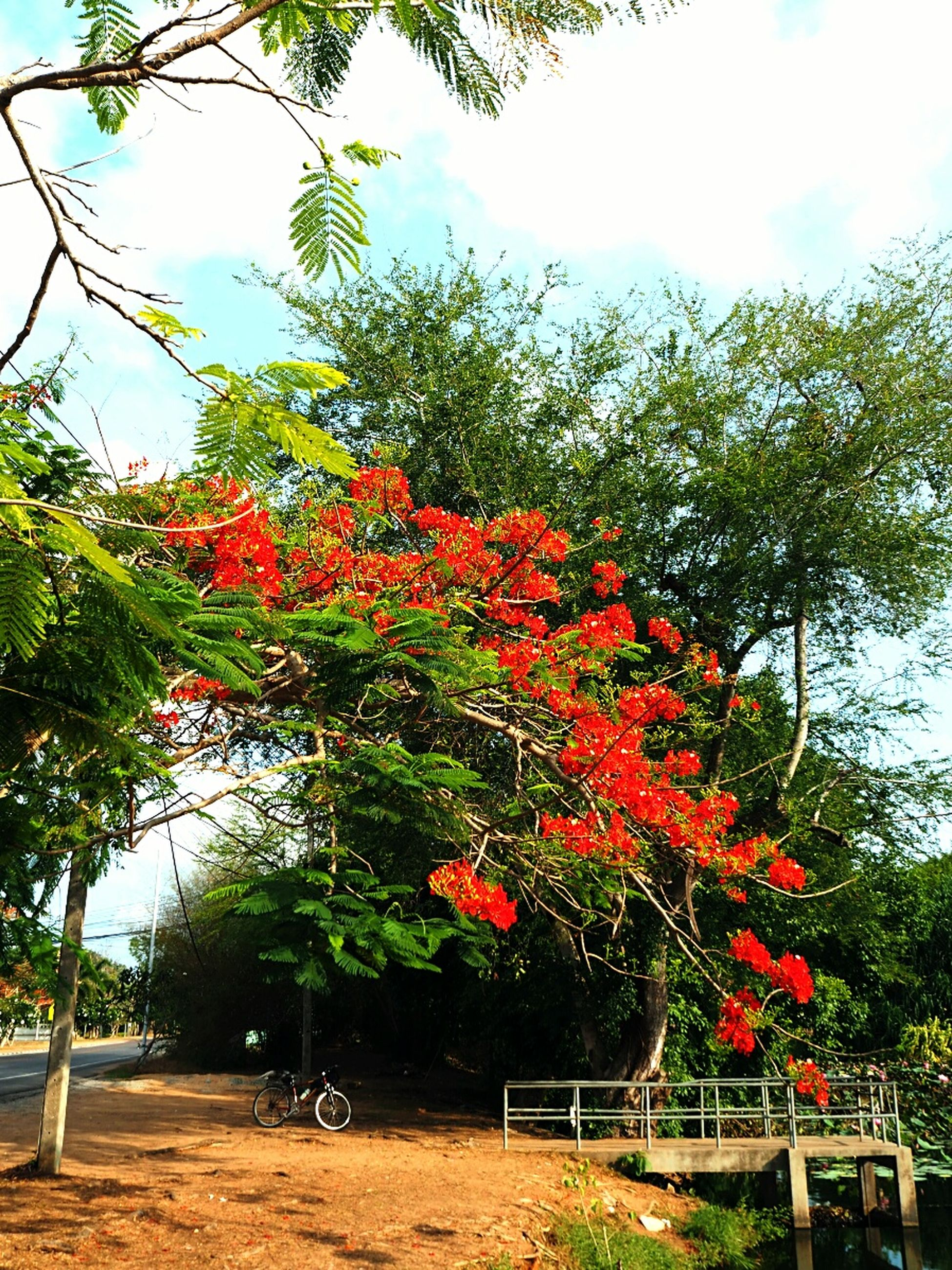 tree, red, growth, flower, freshness, beauty in nature, sky, nature, plant, leaf, day, sunlight, green color, blossom, fragility, park - man made space, branch, outdoors, tranquility, no people