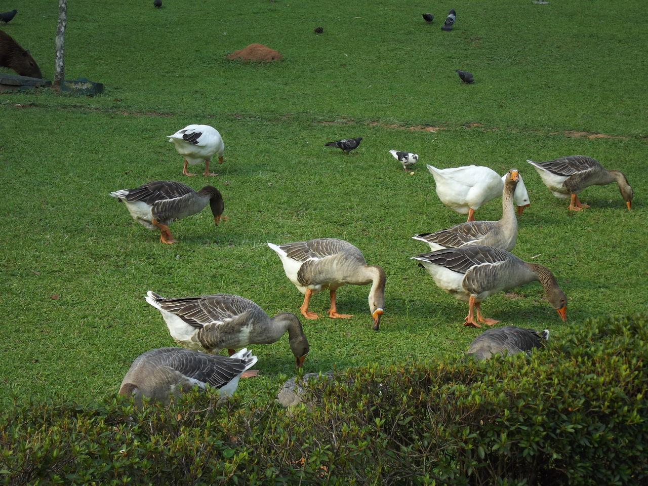 animal themes, bird, grass, field, animals in the wild, animal wildlife, large group of animals, day, nature, green color, outdoors, no people, goose, beauty in nature