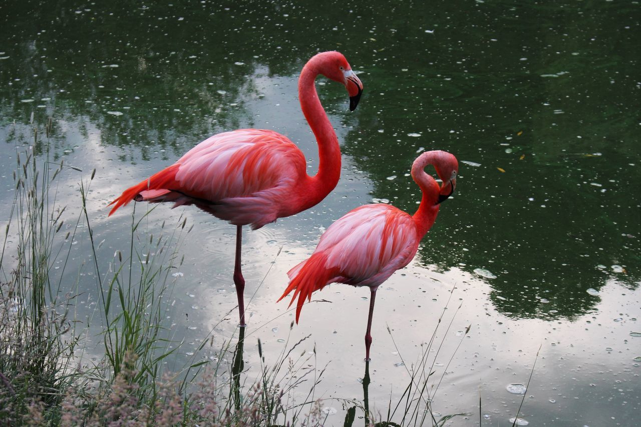 water, red, flamingo, bird, reflection, animal themes, animals in the wild, no people, lake, nature, animal wildlife, day, outdoors, beauty in nature