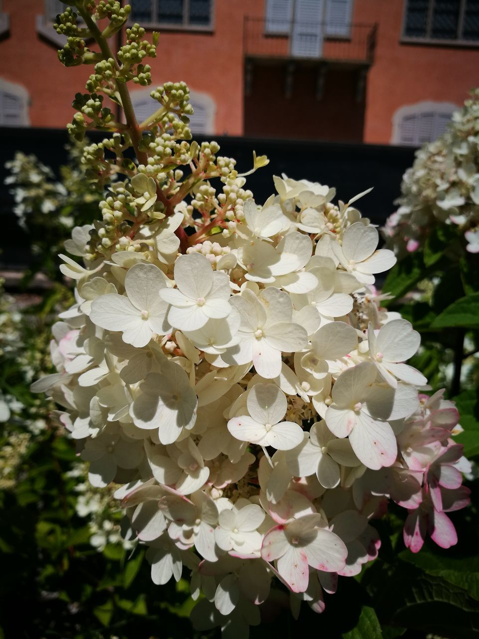 flower, nature, fragility, white color, plant, petal, beauty in nature, growth, no people, freshness, outdoors, hydrangea, close-up, day, flower head, blooming, building exterior, architecture