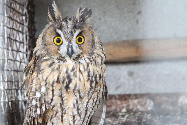 Owl Eyes Nature Amazing_birds