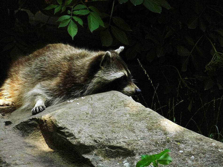 Beautiful stock photos of raccoon, Animal Themes, Animals In The Wild, Forest, Mammal
