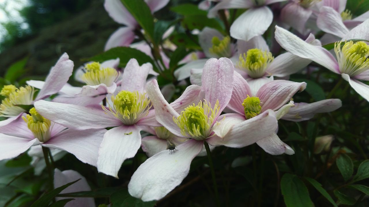 Clematis Vine Clematis Flower Clematisphotography Clematis Petals Clematis Montana No People Outdoors Flowers In My Garden Garden Flowers Floweroftheday Flowerstagram Floral_perfection Flowerphotography Garden Plants Still Life Photography Flora; Magical Spring Flowers Fragility Botany Eyem Nature EyeEm Nature Lover