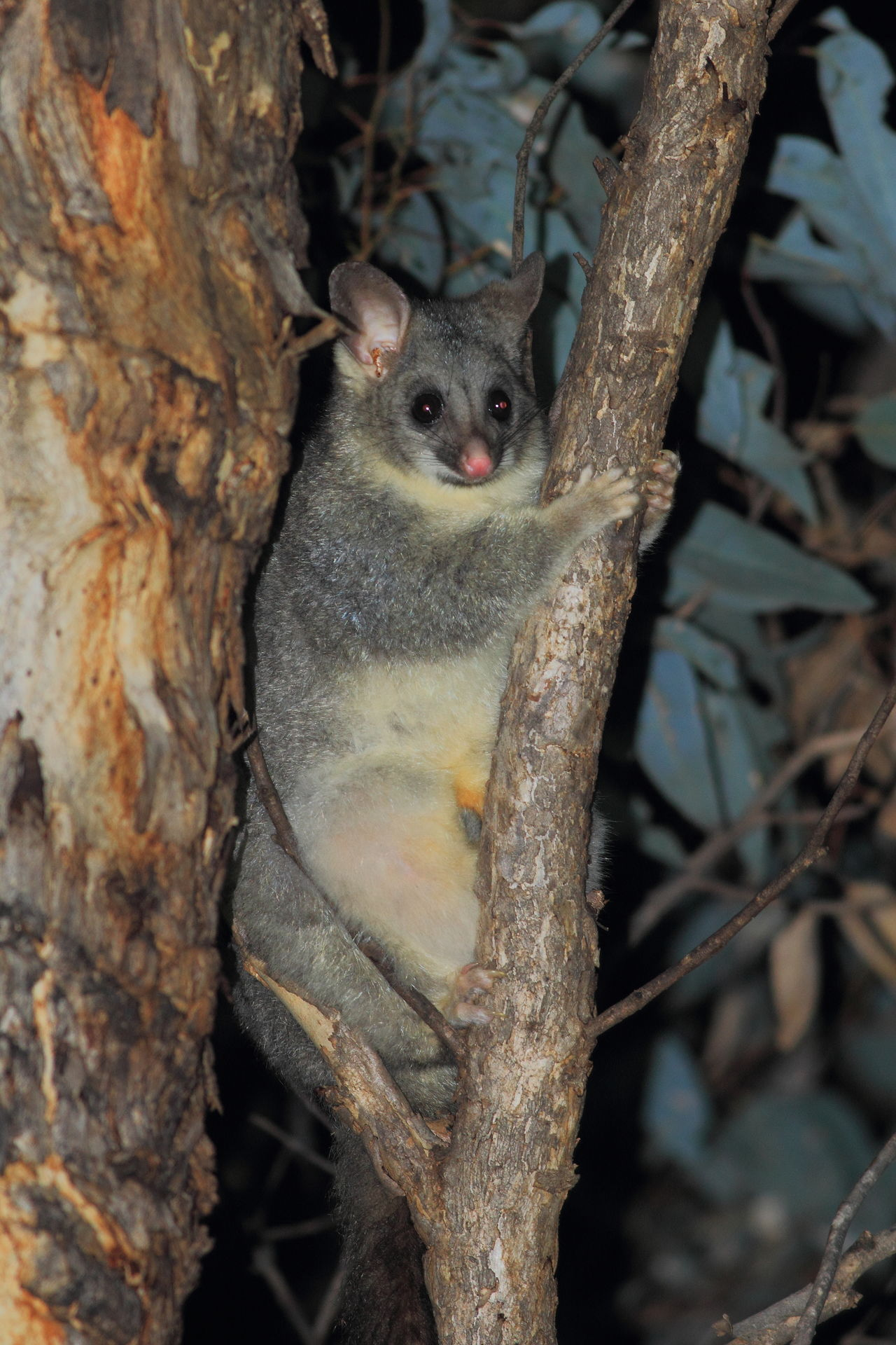 Australia Dryandra Forest Western Australia Animal Wildlife Animals In The Wild Nature Nocturnal Possum