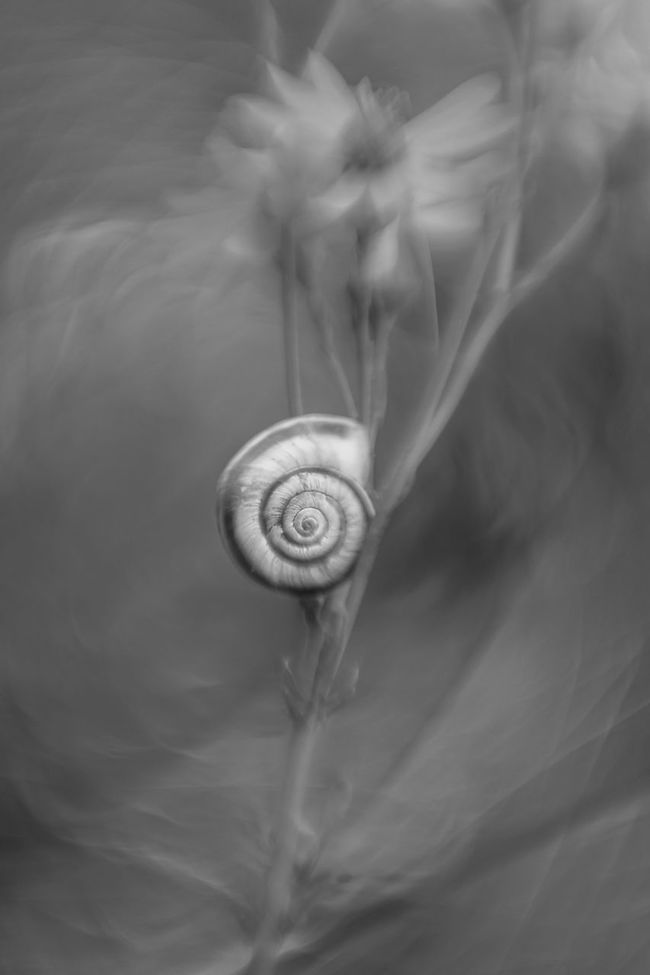 [Agfa Color-Apotar 45mm f/2.8] Beauty In Nature Black And White Bokeh Bokeh Photography Close-up Day Detail Molluscs Monochrome Photography Nature No People Outdoors Selective Focus Shell Snail Snail Shell Swirly Tranquility