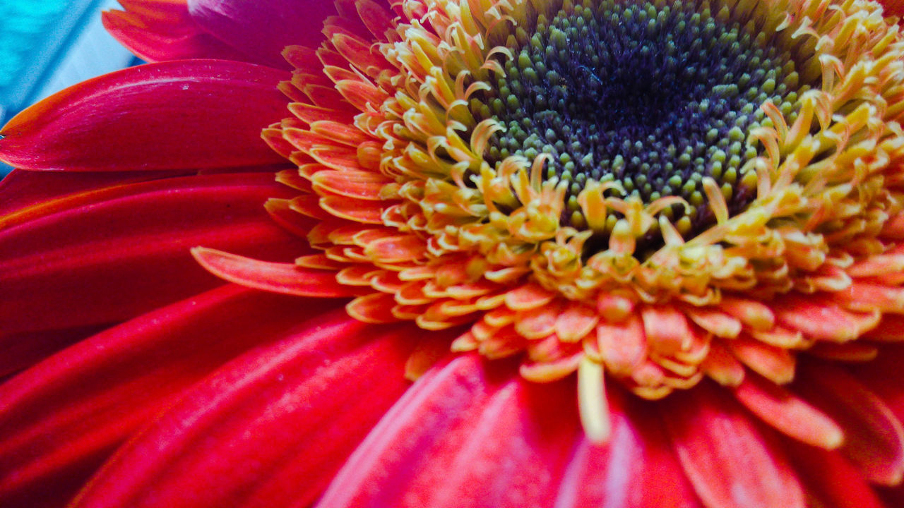 flower, petal, beauty in nature, flower head, freshness, fragility, nature, growth, close-up, pollen, no people, blooming, day, backgrounds, plant, outdoors, zinnia
