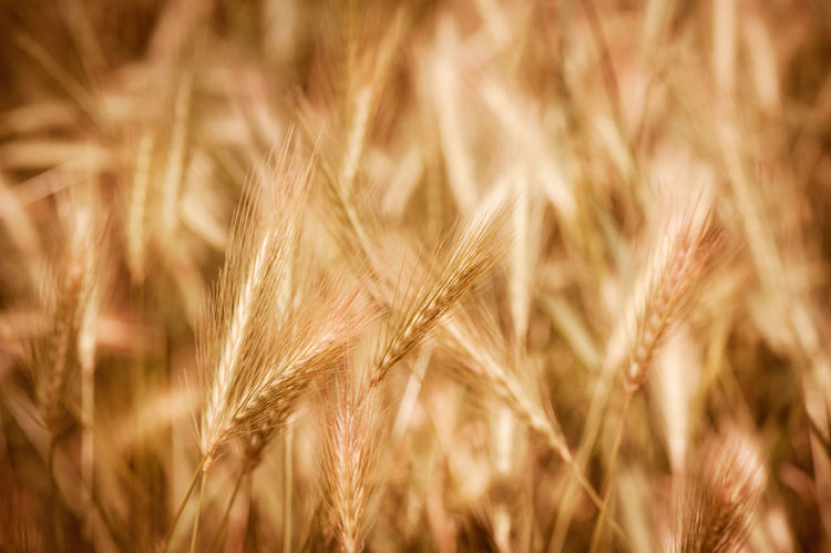 Golden ripe cereal ears grow on field, many plants ready to harvest, closeup on ears and blurred background, open air. Photo taken in Poland. Agriculture Backgrounds Barley Brown Cereal Cereal Plant Close-up Crop  Cultivate Ear Ear Of Wheat Farm Field Food Hordeum Nature No People Plant Plants Rural Scene RYE Secale Triticum Wheat
