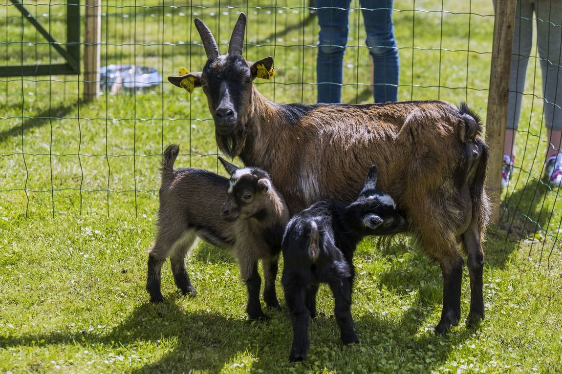 Animal Themes Beauty In Nature Day Domestic Animals EyeEm Nature Lover Family Field Goat Goatling Goats Grass Kid Livestock Mammal Motherhood Nature Outdoors Standing Togetherness Young Animal