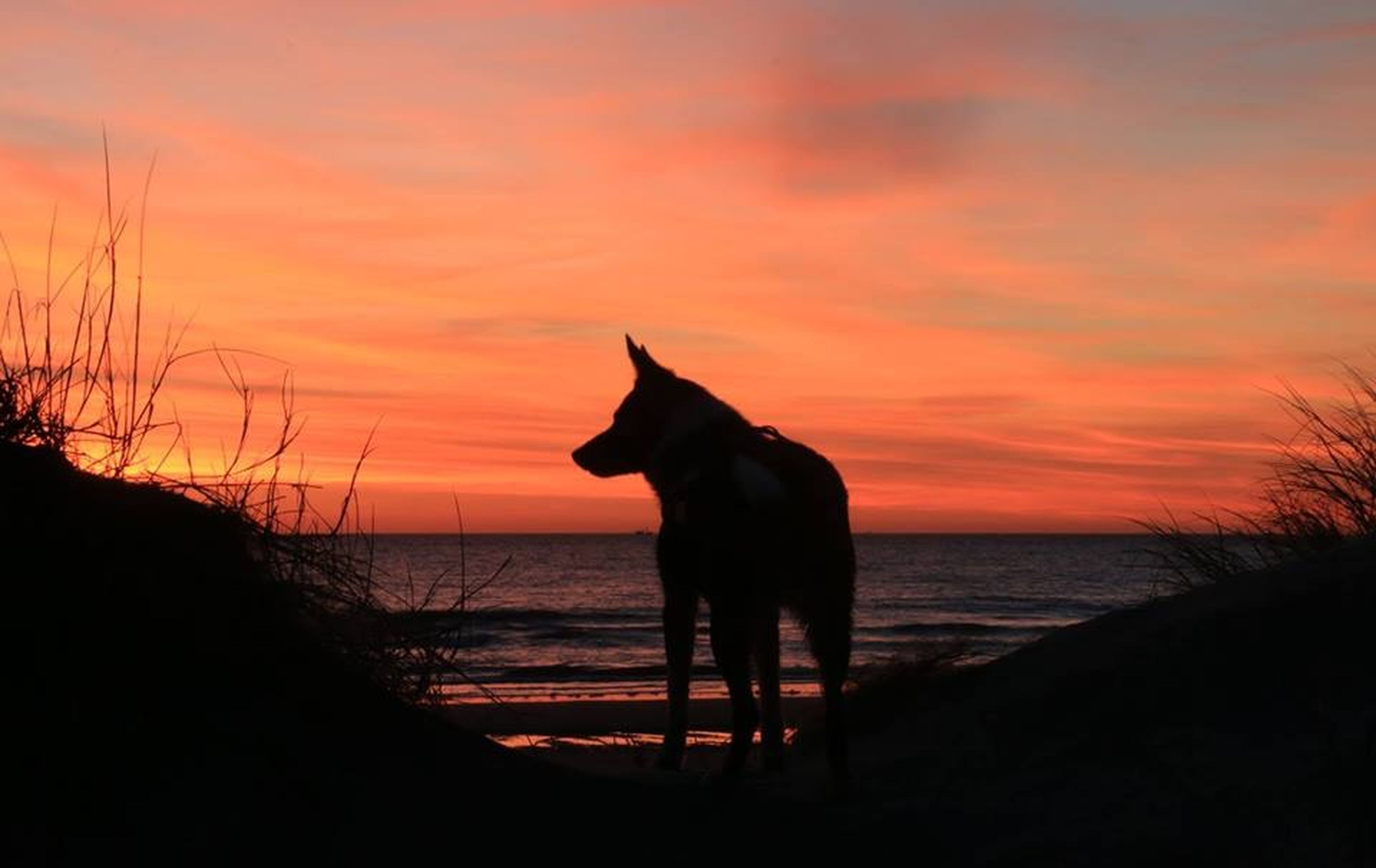 sunset, animal themes, one animal, sea, horizon over water, domestic animals, water, pets, sky, mammal, beach, orange color, silhouette, shore, scenics, beauty in nature, tranquil scene, tranquility, dog, nature