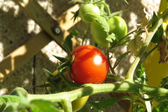 Agriculture Balcony Garden Crop  Food Food And Drink Fresh Produce Fresh Tomatoes Freshness Garden Green Tomatoes Growing Growth Harvest Home Garden Home Grown Home Grown Vegetables Leaf Ready To Harvest Red Tomato Ripe Tomato Tomato Plant Tomatoes Vegetables Veggies