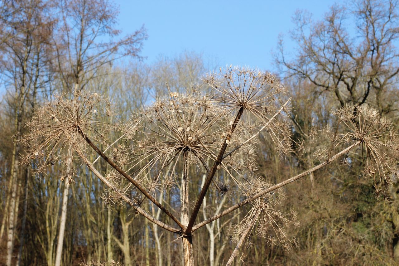 Hogweed flower before springtime Beauty In Nature Clear Sky Close-up Day Dutch Countyside Growth Hogweed Nature No People Outdoors Plant Sky 3XSPUnity