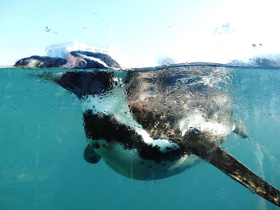 Beautiful stock photos of pinguin, Floating, animal Themes, aquarium, beauty In Nature