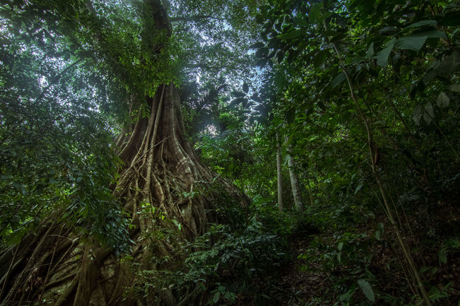 A Silk Cotton tree growing over a huge boulder deep in the jungle of Tioman Island, Malaysia. Beauty In Nature Boulder Forest Forest Photography Green Growing Island Jungle Jungle Trekking Leafs Malaysai Nature Nature Photography Nature_collection Plants Roots Silk Road Tioman Tree Trekking