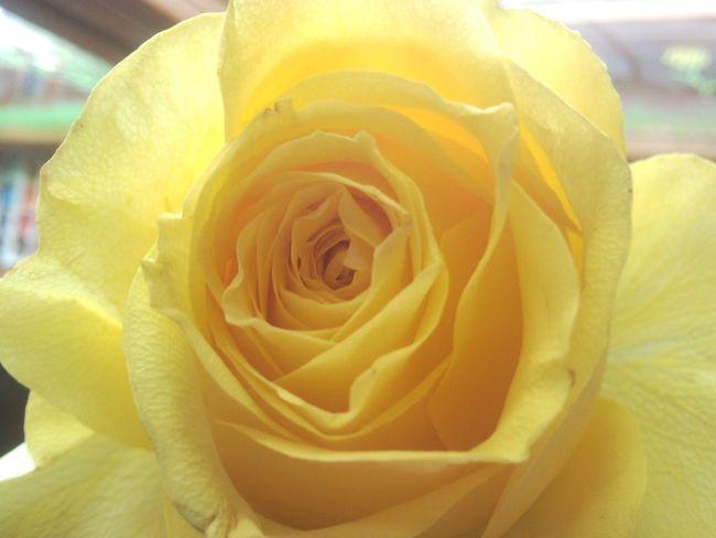 Yellow Rosé Flower Beautiful Nature Yellow Rose Rose🌹