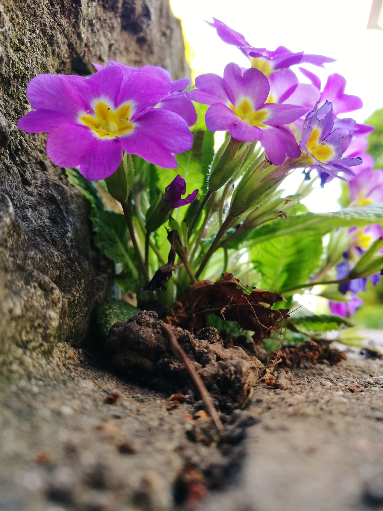 Primroses Flower Nature Growth Plant Purple Beauty In Nature Freshness PetalFragility Green Color Close-up No People Day Flower Head Outdoors Primrose Flower Wall Gardening Colorfull Flower Primeln Frühlingserwachen Farbenfroh Millennial Pink