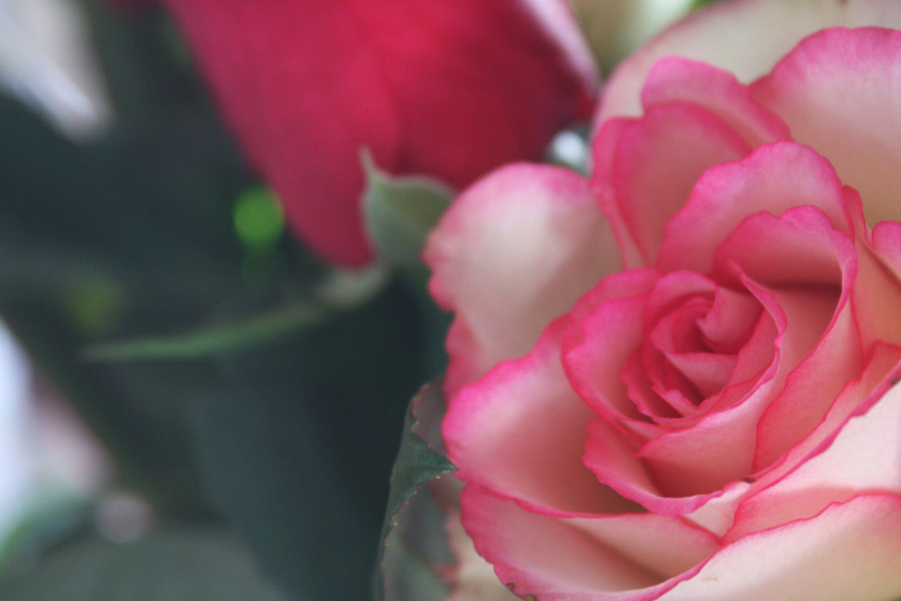 Beauty In Nature Blooming Close-up Flower Flower Head Fragility Freshness Growth Love Love ♥ Nature No People Outdoors Petal Pink Color Pink Flower Plant Rose - Flower Roses Roses Are Red Roses Flowers  Roses_collection Roses🌹 Valentine Valentine's Day