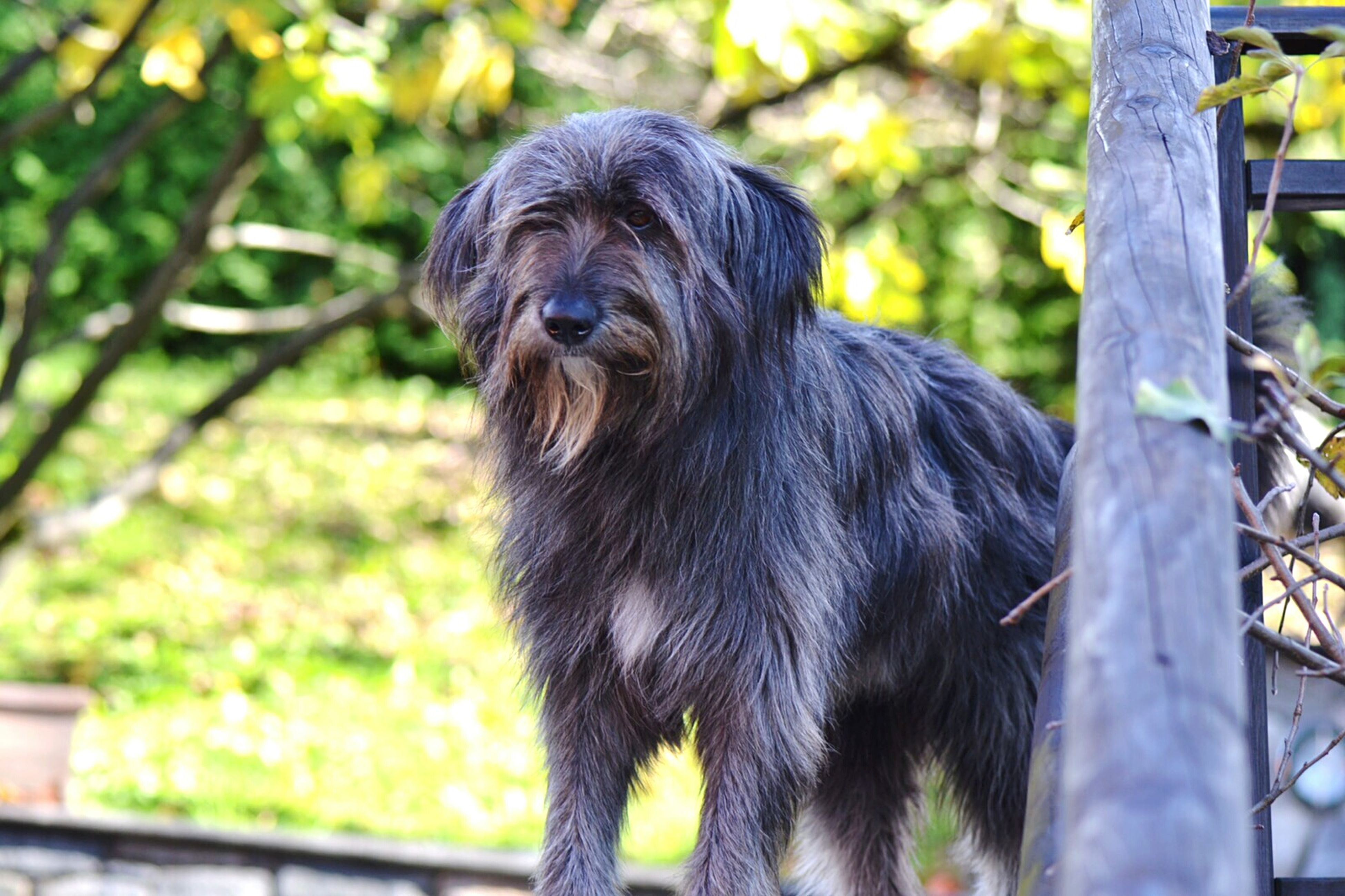 animal themes, one animal, mammal, domestic animals, focus on foreground, close-up, animal head, pets, looking away, tree, black color, no people, outdoors, standing, nature, day, fence, zoology, selective focus, dog