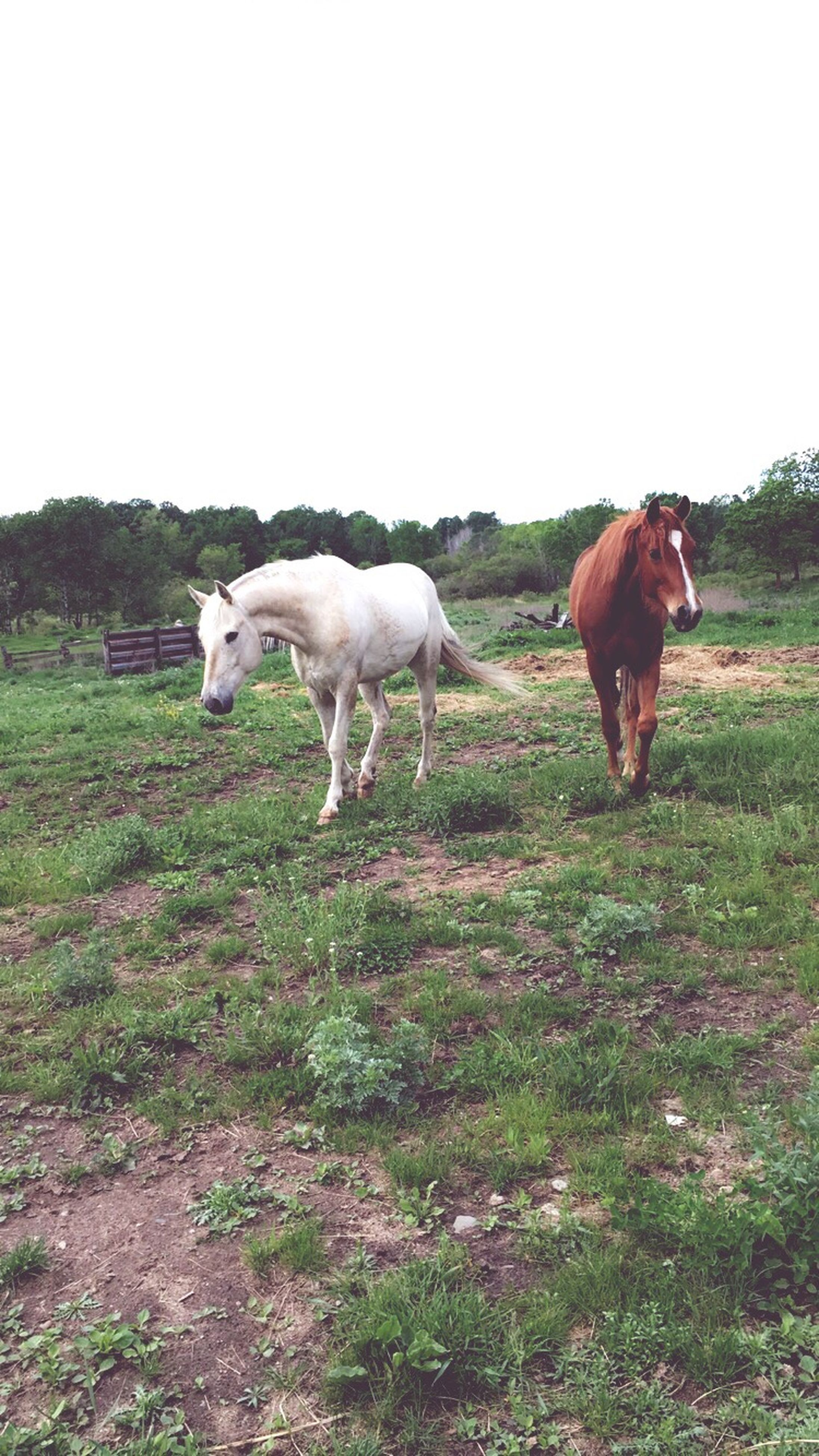 domestic animals, animal themes, mammal, grass, field, livestock, grassy, clear sky, landscape, copy space, full length, standing, nature, pets, horse, one animal, grazing, two animals, herbivorous, tranquility