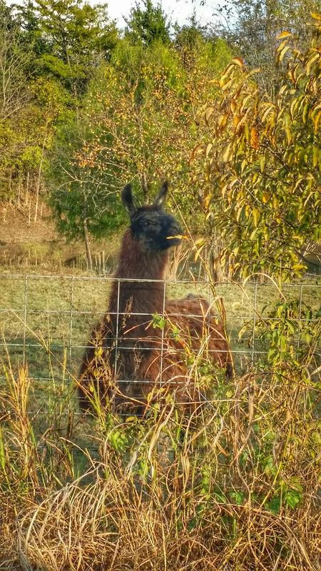 Llama North Texas In The Middle Of Nowhere Countryside Backroading TheWeekOnEyeEM Naturelovers EyeEm Gallery EyeEmTexas Eyeemphotography Country Life EyeEm Animal Lover Animal Photography Autumn Colours Taking Pictures EyeEm Nature Lover