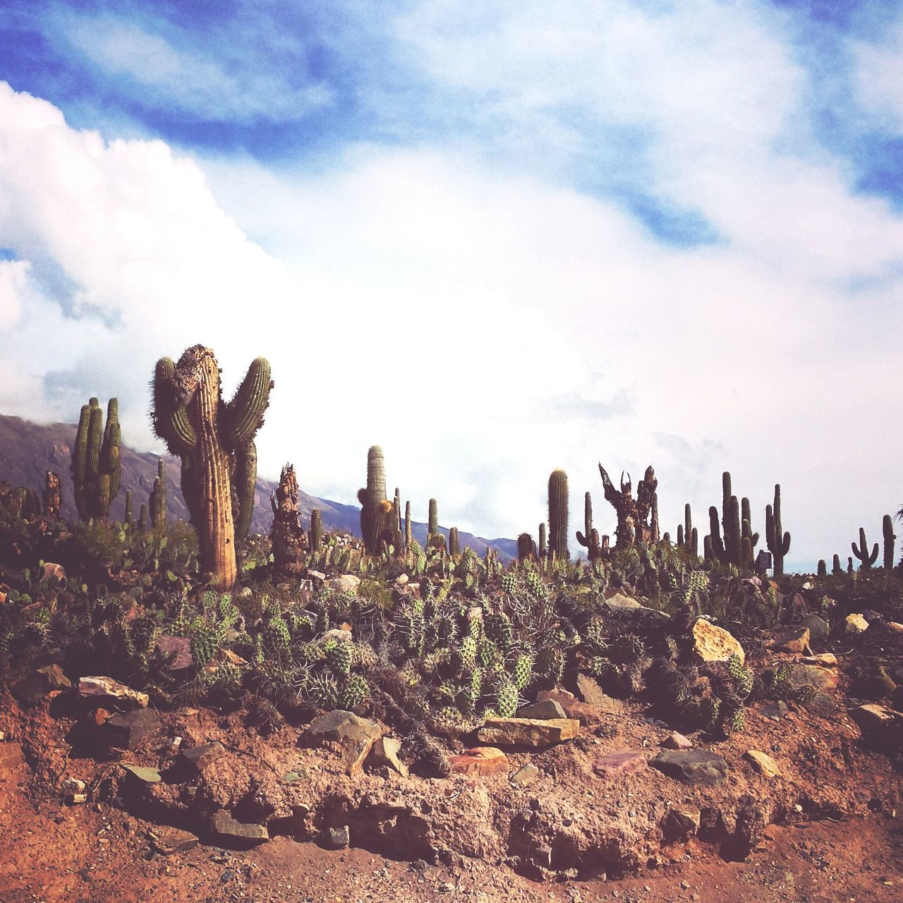Argentina Photography Tilcara Cactus Field