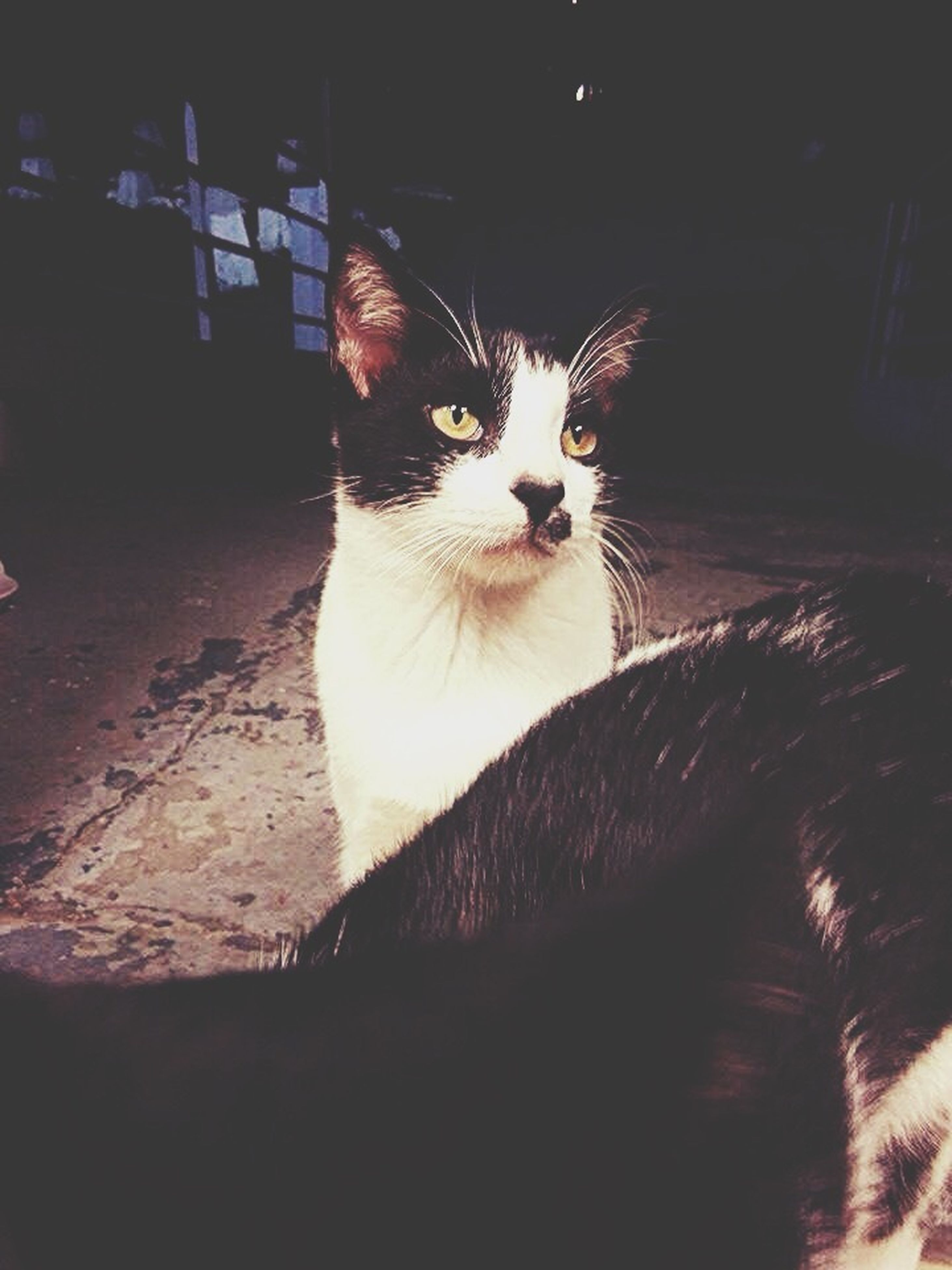 domestic cat, one animal, cat, animal themes, feline, pets, domestic animals, whisker, mammal, portrait, looking at camera, alertness, sitting, staring, close-up, animal head, indoors, front view, zoology