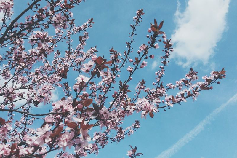 Cherry Blossoms Enjoying Life Sakura Trees Connected With Nature