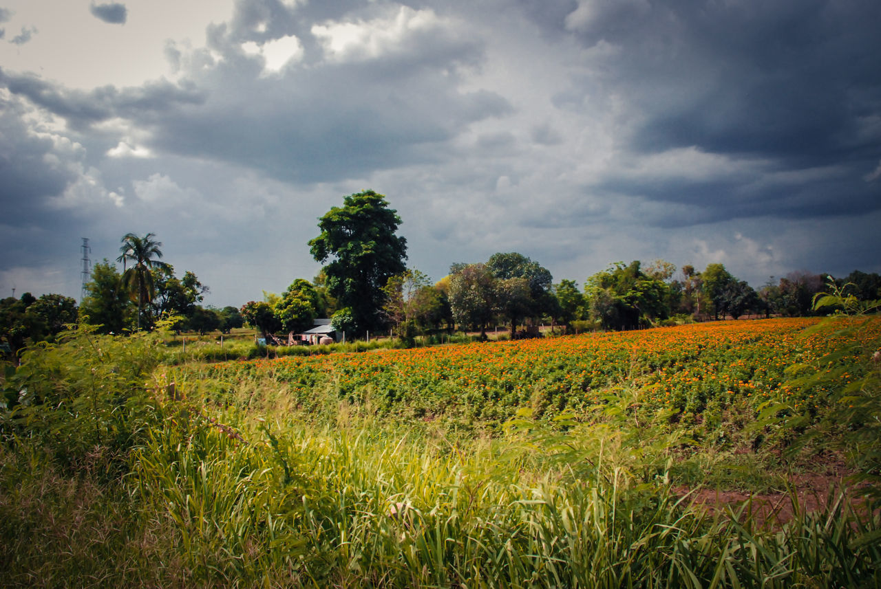 field, agriculture, landscape, nature, cloud - sky, growth, tree, tranquility, farm, tranquil scene, sky, beauty in nature, grass, scenics, rural scene, crop, no people, outdoors, day