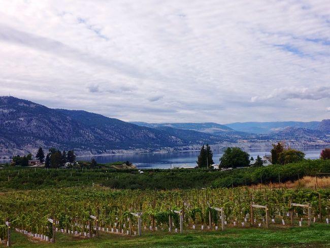 Vineyards In Autumn Vineyard Winery Okanagan Valley September Wine Grapes Autumn Fall