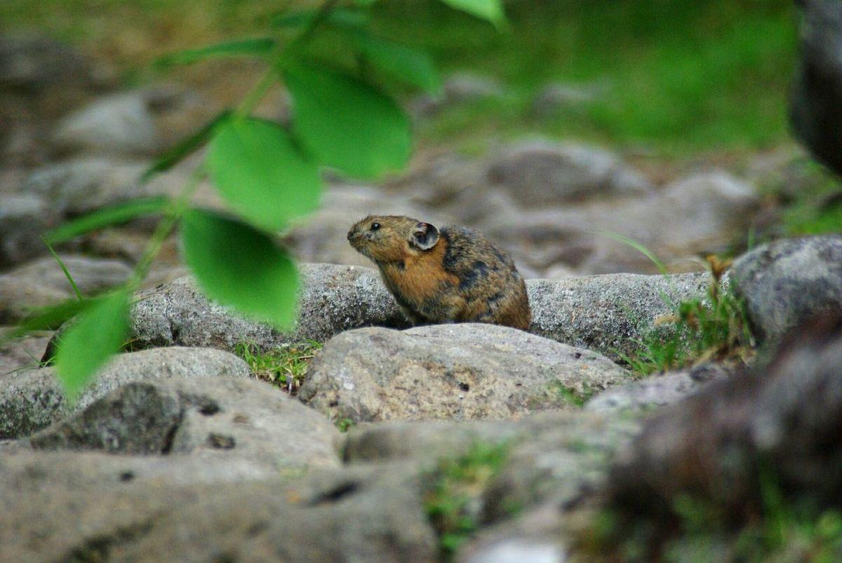 北海道、東ヌプカウシヌプリにて。 Pika Animals In The Wild Animal Wildlife Animal Nature Hokkaido,Japan