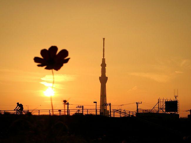 Sunset Silhouette Sun Sky Tower Japan Tokyo Sunsets Silhouette Tokyoskytree Skytree Cosmos Cosmos Flower Flower Orange Sky