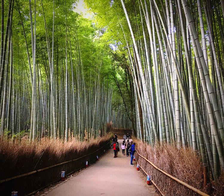 嵐山竹林 嵐山 京都 Kyoto Bamboo - Plant Travel Destinations Kyoto Autumn Enjoying Life Relaxing Hello World Kyoto, Japan Beauty In Nature Autumn