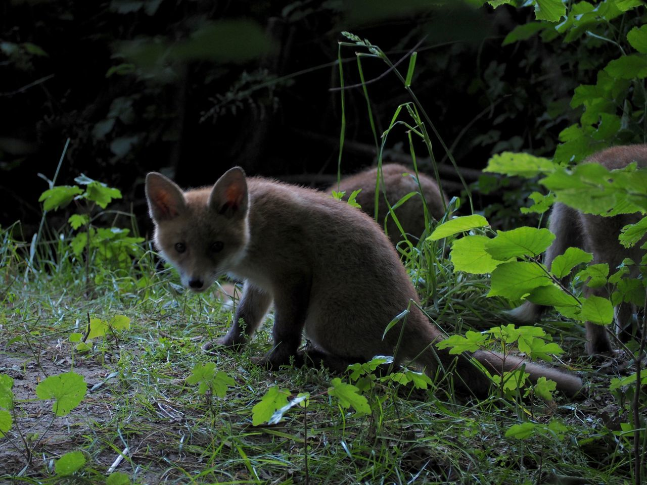 one animal, animals in the wild, animal themes, animal wildlife, outdoors, mammal, plant, day, no people, nature, fox