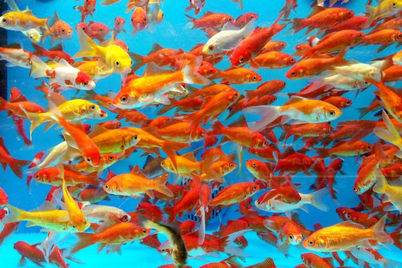 Multi Colored Animal Themes Swimming Close-up Fish Large Group Of Animals Animals In The Wild Underwater Water No People Sea Life Day Fishnet Fish Eye Goldfish Tank Goldfishpond Goldfishtank Goldfish In Water